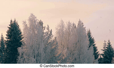 Winter forest in a hoarfrost. - Cloudly winter day in the...