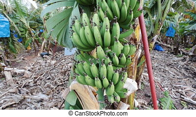 Banana tree with bunch of growing ripe bananas