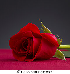 shot of a red rose