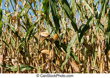 ripe corn growing in the field