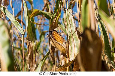 ripe corn growing in the field