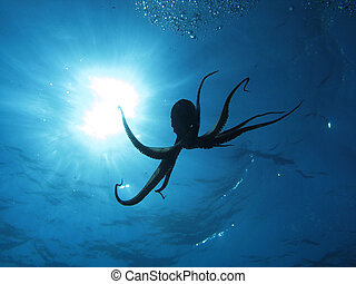 Octopus and sun - Octopus in back light. Shot captured in...