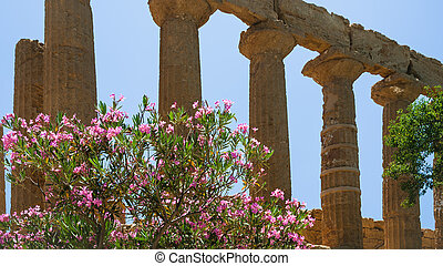 oleander bush and column Temple of Juno in Sicily - travel...