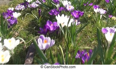Fly over the crocuses in the spring