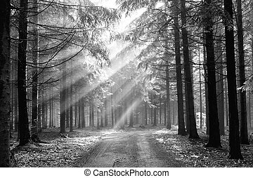 God beams - coniferous forest in fog - Image of the conifer...
