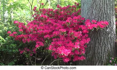 Zoom In on Red Azalea - Nice red flowers in the sun