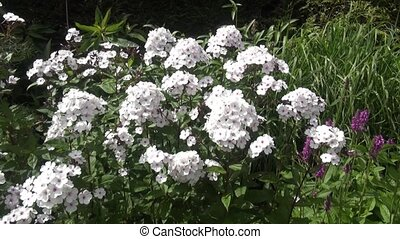Zoom In on White Phlox in the sun - White phlox in the...
