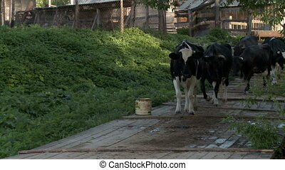 Cows on the farm yard - Cows grazing near the farm yard.