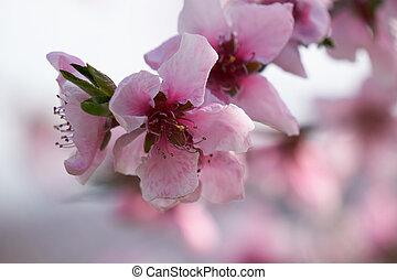 peach blossom flower in spring