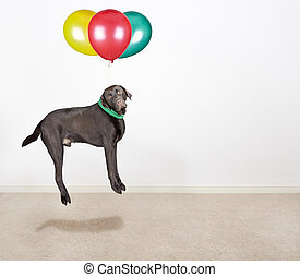 Labrador Being Lifted by Balloons - Shot of a Cute Chocolate...