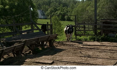Cow walking from pasture to feeder in sunny day