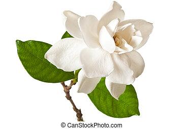 flor,  Gardenia, blanco, aislado