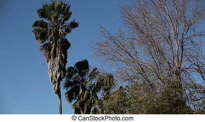 Swaying palm trees are in a park in a sunny day - Swaying...