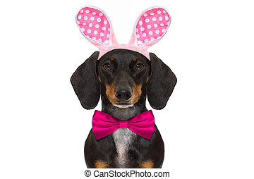 bunny easter ears dog - dachshund sausage dog with bunny...