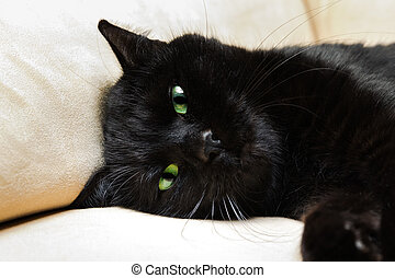 Black panther cat - Portrait of a common, european black cat...