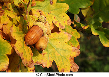Autumn acorns - nice autumn colors