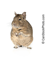 Portrait of a degu on a white - Portrait of a degu standing...