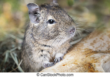 Small degu in the woods - Small degu peeking from behind the...