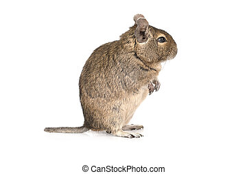 Degu isolated on a white background - Small degu standing on...