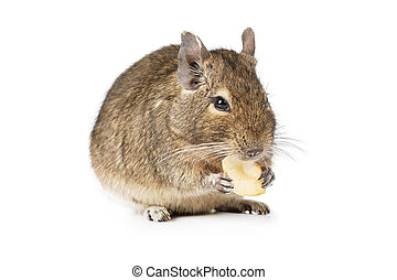 Small Degu isolated on a white background - Degu eating...