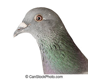 close up head shot of pigeon bird isolate white background