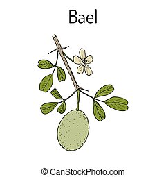 Bael Aegle marmelos , or Bengal quince, golden apple,...