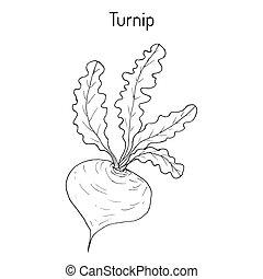 Turnip vegetable, hand drawn botanical vector illustration
