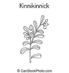 Kinnikinnick Arctostaphylos uva-ursi , or bearberry twig...