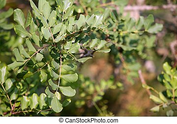Carob locust tree round leaves detail fruits horses food
