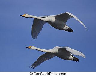 Whooper swan (Cygnus cygnus) - Whooper swans in flight with...