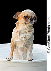 Chihuahua dog taking a bath - Cute Chihuahua dog taking a...