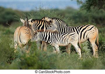 Plains zebras in natural habitat - Plains (Burchells) zebras...