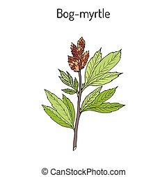 Bog-myrtle myrica gale , or sweetgale, medicinal plant. Hand...