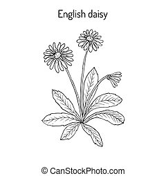 Common, english or lawn daisy Bellis perennis