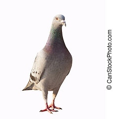 close up full body of pigeon bird standing isolated white...