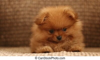 charming little Pomeranian puppy on the couch