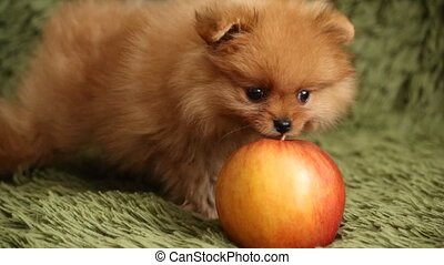 Pomeranian puppy and apple - Pomeranian puppy dog sniffing...