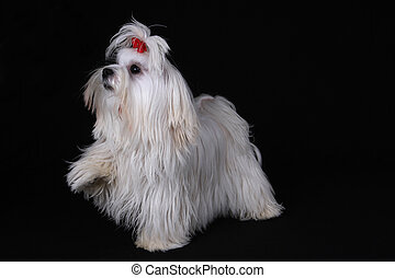 Maltese Dog with one foot raised on black background - A...