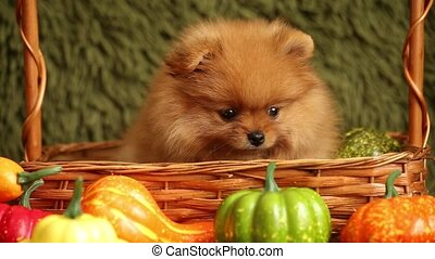 charming little Pomeranian puppy - Puppy Pomeranian on a...