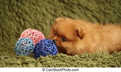 Pomeranian puppy and colorful decorative balls - Pomeranian...