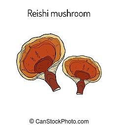 Reishi mushroom Ganoderma lucidum , superfood, medicinal plant
