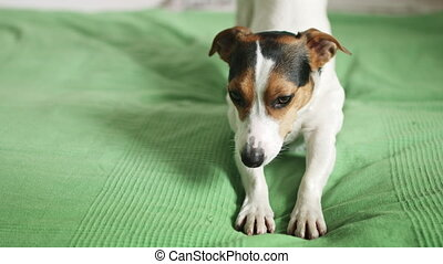 Jack Russell Terrier lying on the bed - Small dog breed Jack...