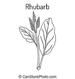 Rhubarb Rheum rhabarbarum , culinary and medicinal plant....