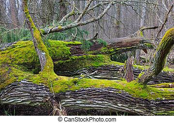 Old oak trees broken lying - Wind broken old oak trees...