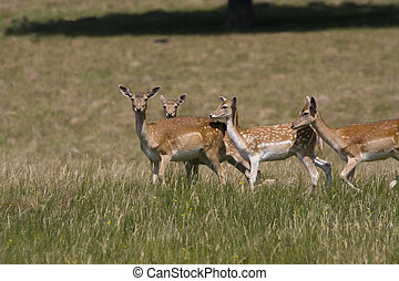 Herd of fallow deer - A herd of fallow deer in short grass