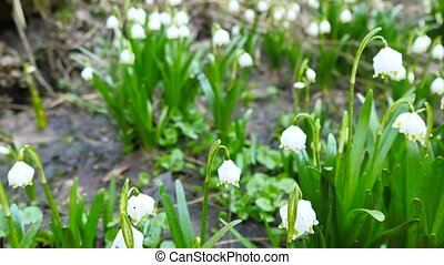 Dewy tufts of spring snowflake (Leucojum vernum) in moist...
