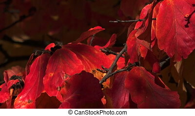 Red leaves of the bird-cherry tree. Autumn. - Red leaves of...
