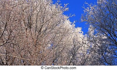 Winter Forest. Trees under snow in the winter forest. Sunny...