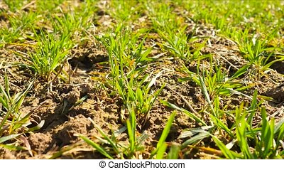 Spring wheat field, small young plants moving in the wind....