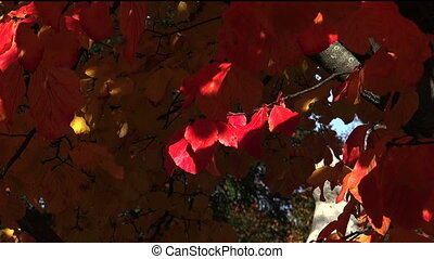 Red leaves of the bird-cherry tree. Autumn.